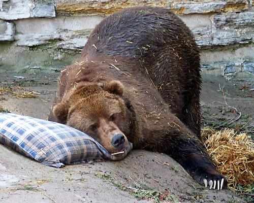 Medve lap medv k t li lma medv k mack k farkas n ra - Animali in inverno clipart ...